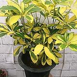 형광 홍콩야자 공기정화식물|