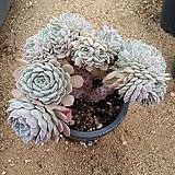 화이트턱시판철화군생 묵은둥이|Echeveria tuxpan