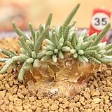 알스토니 350320|Avonia quinaria ssp Alstonii