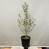 올리브나무 (동일품배송)|