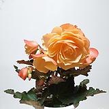 향기나는 베고니아 구근베고니아|Begonia