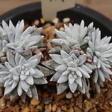 화이트그리니13두자연군생104|Dudleya White gnoma(White greenii / White sprite)