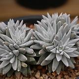 화이트그리니11두자연군생196|Dudleya White gnoma(White greenii / White sprite)