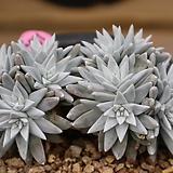 화이트그리니12두자연군생197|Dudleya White gnoma(White greenii / White sprite)