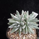 화이트그리니389|Dudleya White gnoma(White greenii / White sprite)