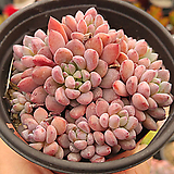 아모에나02|Echeveria amoena