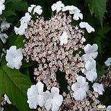 백당수국 (분홍)|Hydrangea macrophylla
