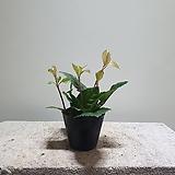 산호수 소품 공기정화식물 12|