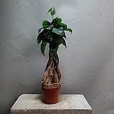트위스트파키라 파키라 중품 공기정화식물 109|