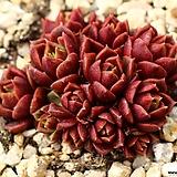 원종롱기시마 군생 S2519|Echeveria longissima