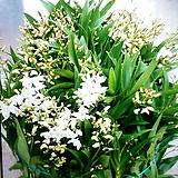 긴기아난.스노우썸(향기최고짱!). 흰색.(순수백색).(촉많은상품) .물건상태굿(꽃대좋음).꽃배율좋음.가격대비좋습니다.|