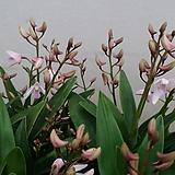 긴기아난.연핑크(좋은향).상태굿.여성스러운색.물건상태굿(꽃대좋음).꽃배율좋음.가격대비좋습니다.|