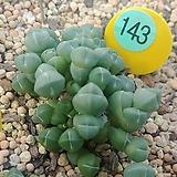 에불루타 코노피튬03212|Conophytum