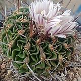 묵은둥이축옥선인장03217|Haworthia truncata
