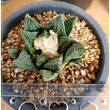 귀갑로이디 (Ariocarpus fissuratus ssp lloydii)|