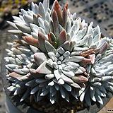 화이트그리니(20두이상)0321-1|Dudleya White gnoma(White greenii / White sprite)
