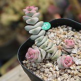 루페스트리금|Crassula perforata