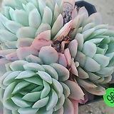 라즈베리아이스03212|Echeveria Rasberry Ice