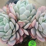 라즈베리아이스03219|Echeveria Rasberry Ice
