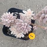 베라하긴스금03214|Graptopetalum Mirinae