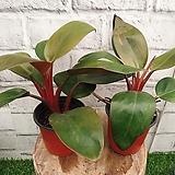 2개묶음]레드 콩고 공기정화식물|