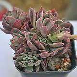 블랫블루아나(E138) Echeveria bradburiana