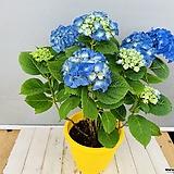 수국 (청색) 동일품배송|Hydrangea macrophylla