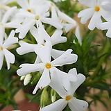꽃잔디 / 5묶음 / 흰꽃잔디 / 야생화 / 노지월동 / 꽃 피는 잔디  /  주말농장 /  정원용 / 조경용 / 전원주택|