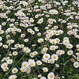 동국 / 5묶음 / 국화과 / 하얀꽃 / 애기데이지 / 야생화  /  주말농장 /  정원용 / 조경용 / 정원주택 / 관상용|