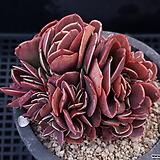 빅레드철화523|Echeveria Big Red
