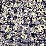 황금조팝/ 야생화 / 주말농장 /  정원용 / 조경용 / 정원주택 / 관상용 / 비닐포트|