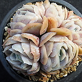 원종포토시나 0321|Echeveria elegans Potosina