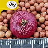 마우가니 레드 196|Conophytum maughanii