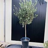 키큰올리브나무 (굵은 외목 특대품이며 동일품 배송합니다)|