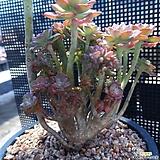 홍일산생얼 철화 군생|Echeveria bicolor