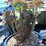 홍일산생얼철화 군생|Echeveria bicolor