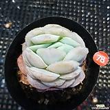 묵은포토시나|Echeveria elegans Potosina