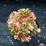 금잘든  소인제금|Aeonium  sedifolius