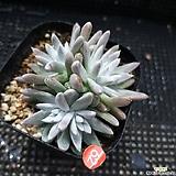 5두 화이트그리니|Dudleya White gnoma(White greenii / White sprite)