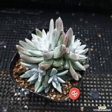 6 두 화이트그리니|Dudleya White gnoma(White greenii / White sprite)
