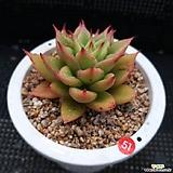 자구3개 짧은잎적성|Echeveria agavoides Akaihosi
