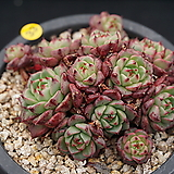 미니황비황|Echeveria minima cv. Miniouhikou