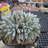 화이트그리니 자연군생(분채배송)3-2668 Dudleya White gnoma(White greenii / White sprite)