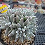 화이트그리니 자연군생(분채배송)3-2669 Dudleya White gnoma(White greenii / White sprite)