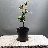 함소화 소품 야생화 공기정화식물 59 