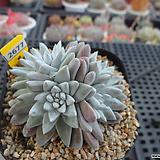 화이트그리니 자연군생(분채배송)3-2677 Dudleya White gnoma(White greenii / White sprite)