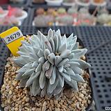 화이트그리니 자연군생(분채배송)3-2679 Dudleya White gnoma(White greenii / White sprite)