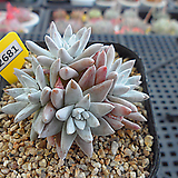 화이트그리니 자연군생(분채배송)3-2681 Dudleya White gnoma(White greenii / White sprite)