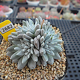 화이트그리니 자연군생(분채배송)3-2682 Dudleya White gnoma(White greenii / White sprite)