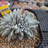 화이트그리니 자연군생(분채배송)3-2683 Dudleya White gnoma(White greenii / White sprite)